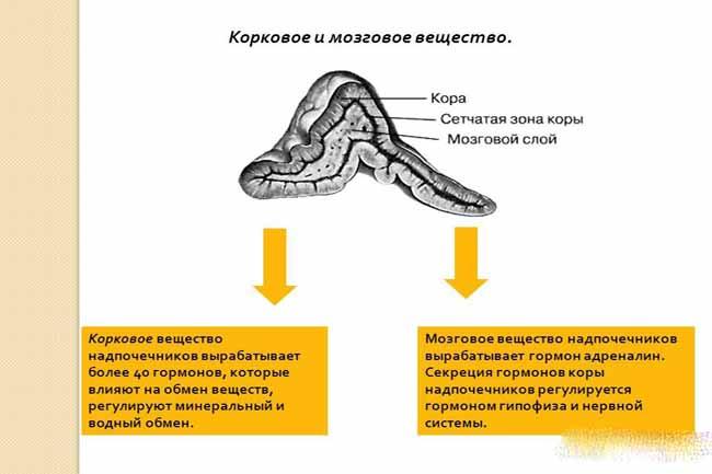Корковое вещество надпочечников